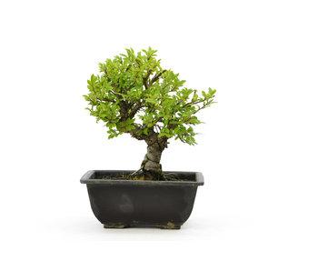 Olmo di corteccia di sughero con foglie piccole, 16,2 cm, ± 7 anni