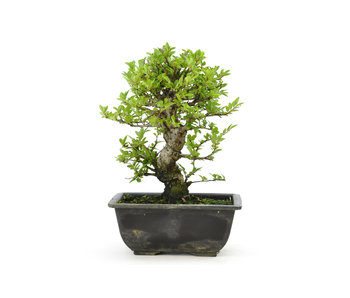 Cork bark elm with small leaves, 16,3 cm, ± 7 years old