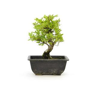 Olmo di corteccia di sughero con foglie piccole, 16,4 cm, ± 7 anni