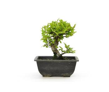 Olmo di corteccia di sughero con foglie piccole, 16,5 cm, ± 7 anni
