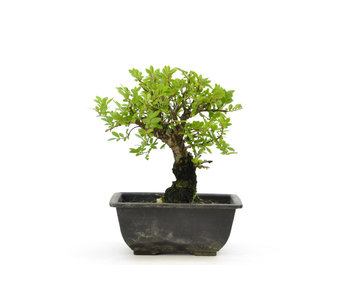 Olmo di corteccia di sughero con foglie piccole, 16,6 cm, ± 7 anni