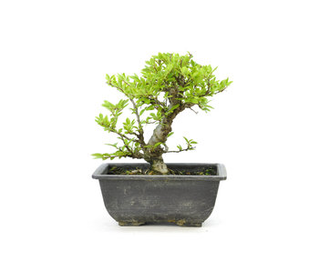 Olmo di corteccia di sughero con foglie piccole, 16,7 cm, ± 7 anni