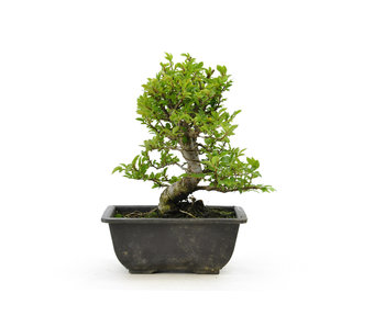 Cork bark elm with small leaves, 16,8 cm, ± 7 years old