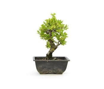 Olmo di corteccia di sughero con foglie piccole, 17 cm, ± 7 anni