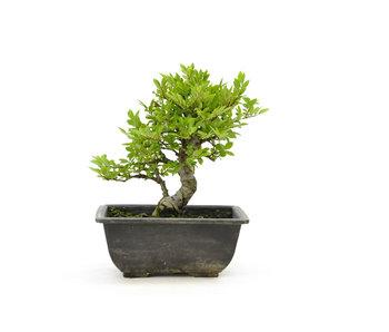 Olmo di corteccia di sughero con foglie piccole, 15,9 cm, ± 7 anni