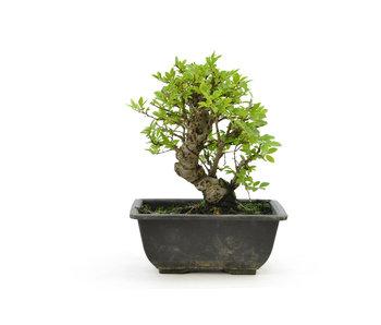 Olmo di corteccia di sughero con foglie piccole, 15,7 cm, ± 7 anni