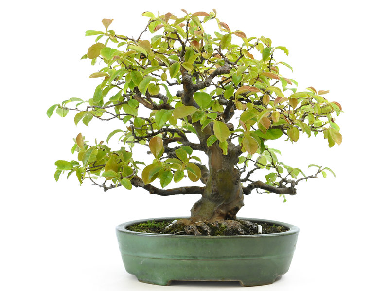 Chinese quince, 32 cm, ± 40 years old, with a nice nebari of 13 cm, in a Japanese Yamafusa pot