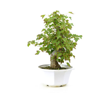 Trident maple, 27 cm, ± 8 years old