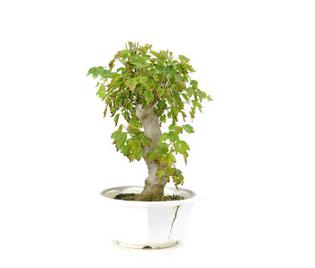 Trident maple, 26 cm, ± 8 years old