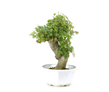 Trident maple, 27,1 cm, ± 8 years old