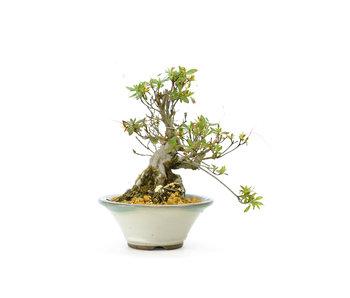 Azalea japonesa, 17 cm, ± 20 años.