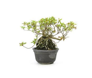 Azalea japonesa, 13 cm, ± 10 años.