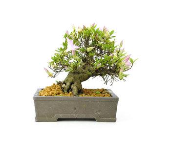 Japanse azalea (Shungetsu), 15,5 cm, ± 25 jaar oud