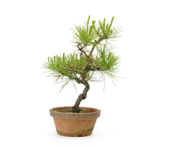 Japanese red pine, 26,8 cm, ± 23 years old