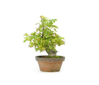Trident maple, 18 cm, ± 25 years old