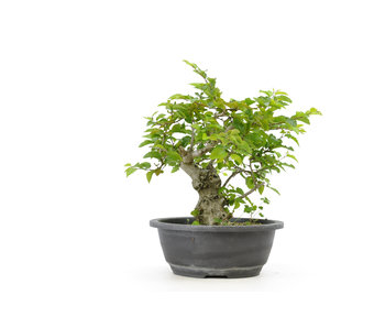 Korean hornbeam, 26,5 cm, ± 25 years old