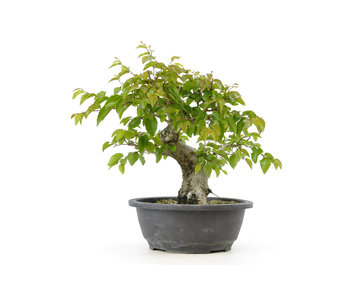 Korean hornbeam, 23,1 cm, ± 25 years old