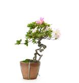 Japanse azalea (Oegawa), 33 cm, ± 25 jaar oud