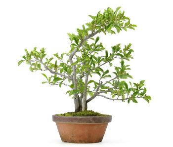 Photinia villosa, 40 cm, ± 25 anni