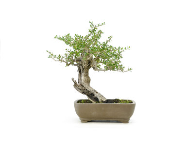 Olijfboom, 21 cm, ± 50 jaar oud