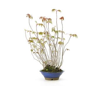 Fluweelboom, 38,1 cm, ± 12 jaar oud