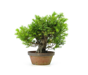 Japanese yew, 32 cm, ± 35 years old