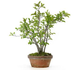 Photinia villosa, 41 cm, ± 25 años.
