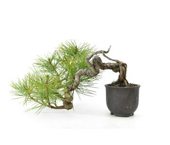 Pino nero giapponese, 10 cm, ± 20 anni