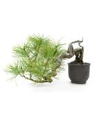Japanese black pine, 10 cm, ± 20 years old