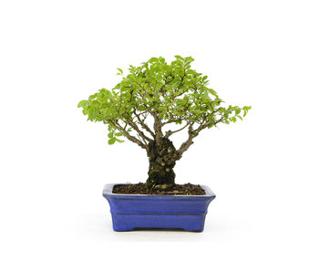 Cork bark elm with small leaves, 17 cm, ± 15 years old