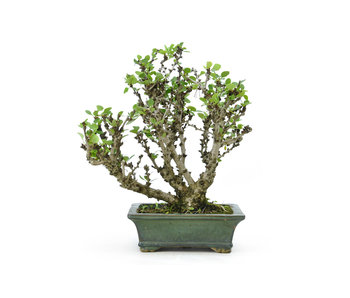 Japanese barberry, 21 cm, ± 20 years old