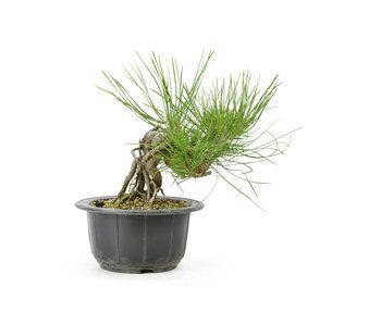 Japanese black pine, 19,1 cm, ± 18 years old