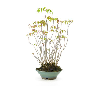 Fluweelboom, 38,2 cm, ± 12 jaar oud