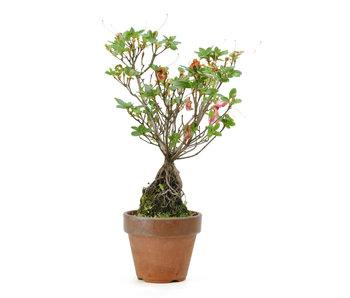 Japanse azalea (Hibai), 23 cm, ± 10 jaar oud
