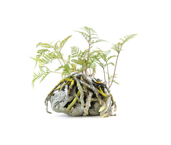 Japanese fern, 19 cm, ± 6 years old