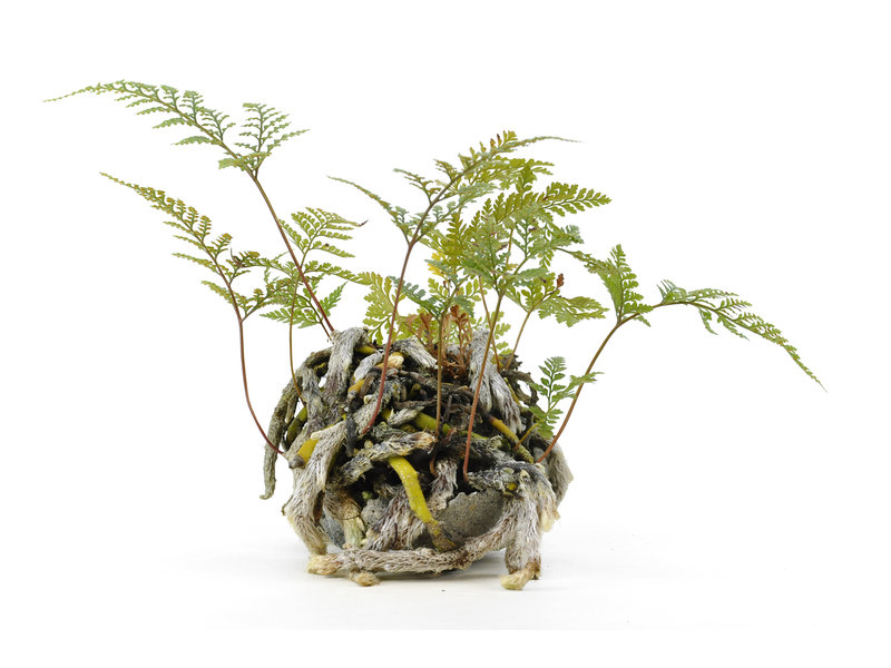 Japanese fern, 19 cm, ± 6 years old, in a handmade pot