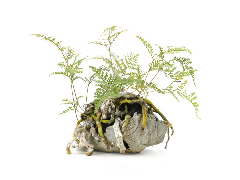 Japanse varen, 19 cm, ± 6 jaar oud, in handgemaakte pot