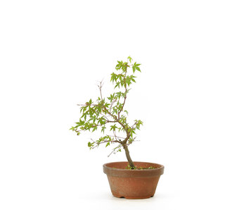 Japanese maple, 31 cm, ± 8 years old