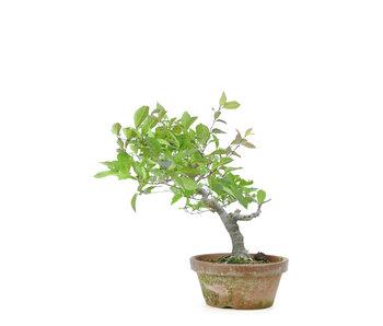 Winterberry japonés, 30 cm, ± 15 años