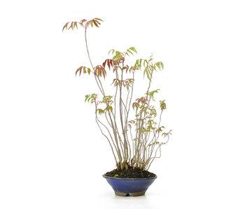 Fluweelboom, 38,3 cm, ± 12 jaar oud
