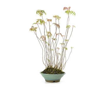 Fluweelboom, 38,4 cm, ± 12 jaar oud