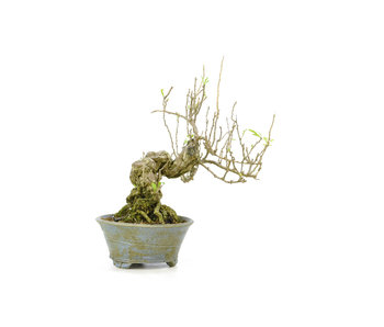 Goji berry, 15,1 cm, ± 15 years old