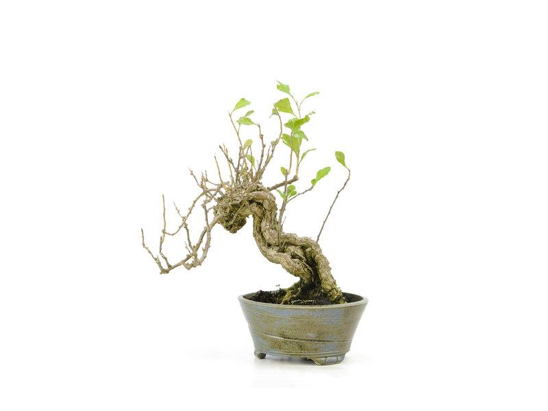 Goji-bes, 15,2 cm, ± 15 jaar oud, in een handgemaakte pot