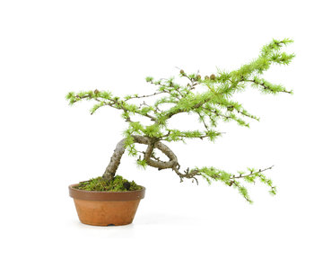 Larix, 21 cm, ± 10 years old