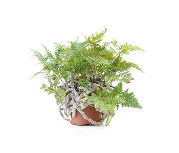 Japanese fern, 25 cm, ± 8 years old