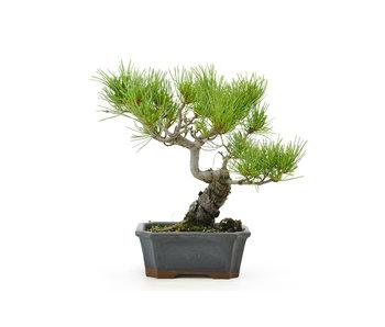 Japanese white pine, 22 cm, ± 15 years old