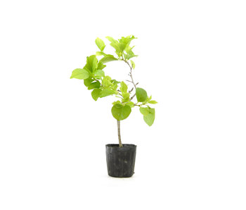 Agrodolce orientale, 19,7 cm, ± 8 anni