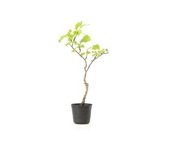 Agrodolce orientale, 19,6 cm, ± 8 anni