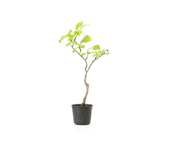 Oriental bittersweet, 19,6 cm, ± 8 years old