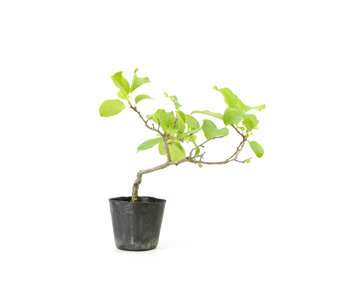 Agrodolce orientale, 19,5 cm, ± 8 anni